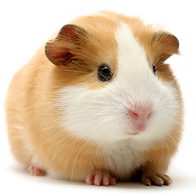 Animal Medical Associates - Veterinarian serving Saco, Biddeford, Scarborough, Old Orchard and Ocean Park ME - Our veterinarian is an exotic specialist and would love to see your guinea pig or other exotic pet!